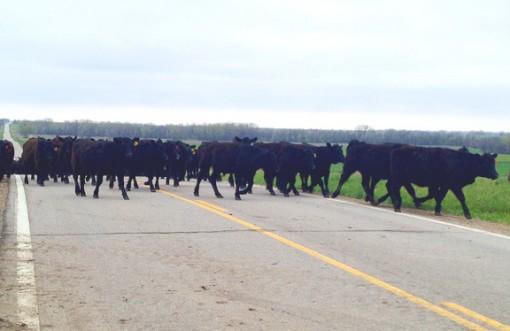 cattle on roadway