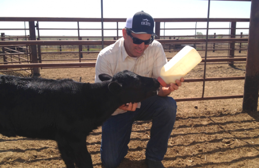 Man bottle-feeding calf.