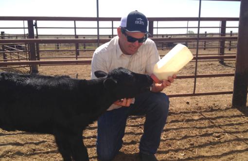 Man bottle-feeding calf.