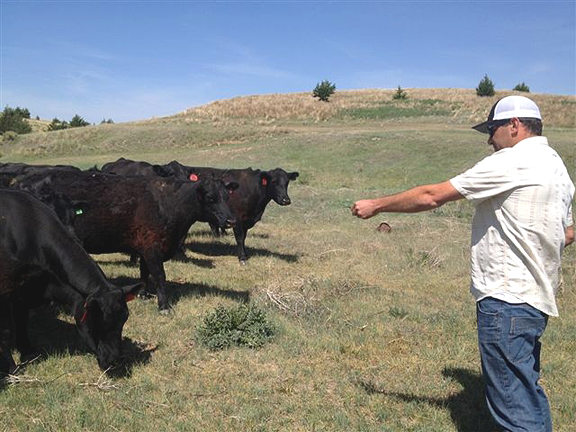 Cattle reaching for outstretched hand.